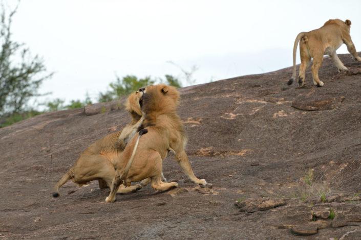 Die Löwen brüllen und kratzen sich