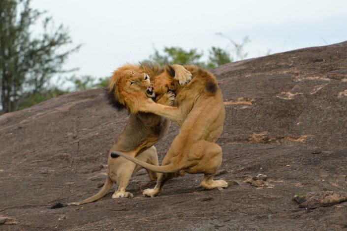 Löwenkampf am Sand River
