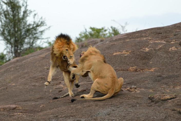 Lion Fight Masai Mara