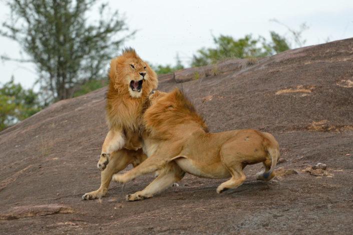 Löwenkampf mit Fellhaaren