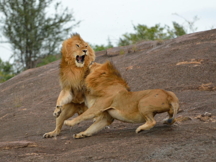 Masai Mara Lion Love & Fight 2015