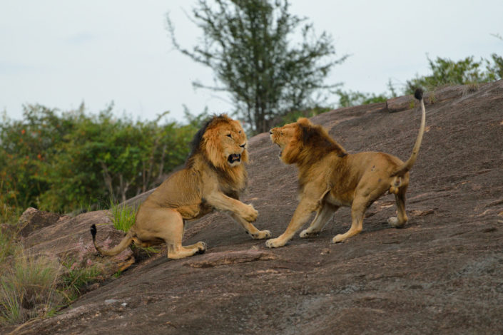 brüllende Löwen kämpfen miteinander