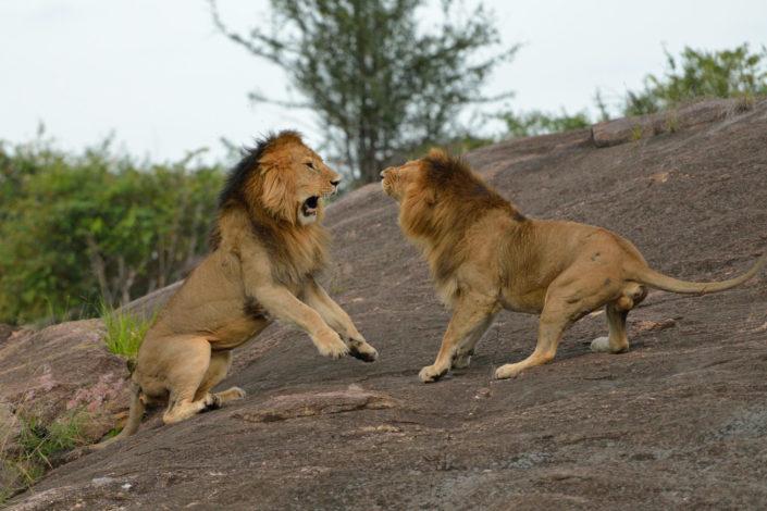 Löwen brüllen sich an