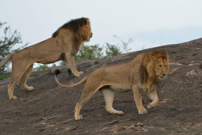 Die Löwen beenden den Kampf