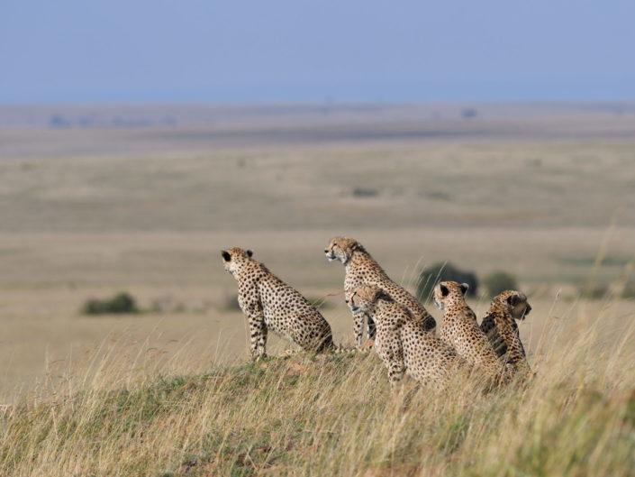 Masai Mara Fast Five Cheetahs 2018