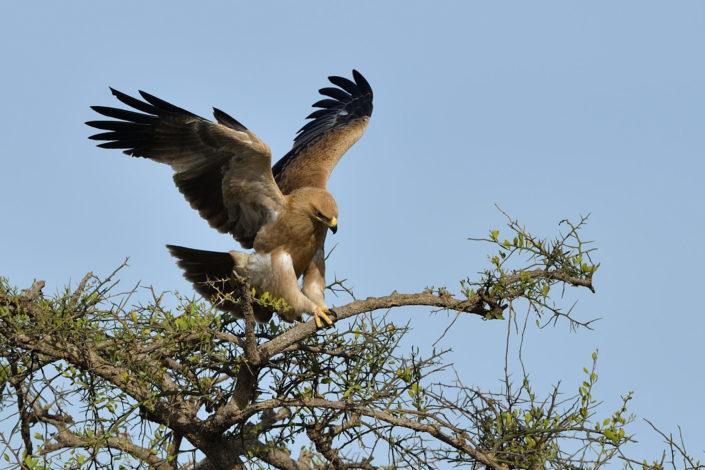 Masai Mara Tawny Eagle Raubadler