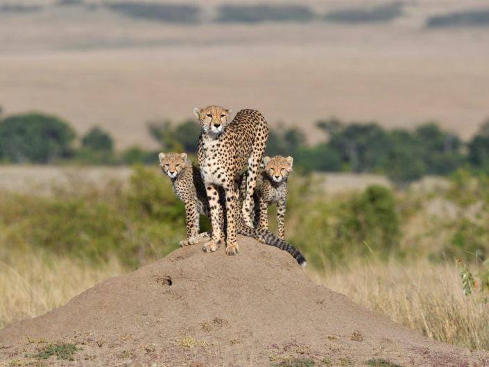 Masai Mara Cheetah Amani 2018