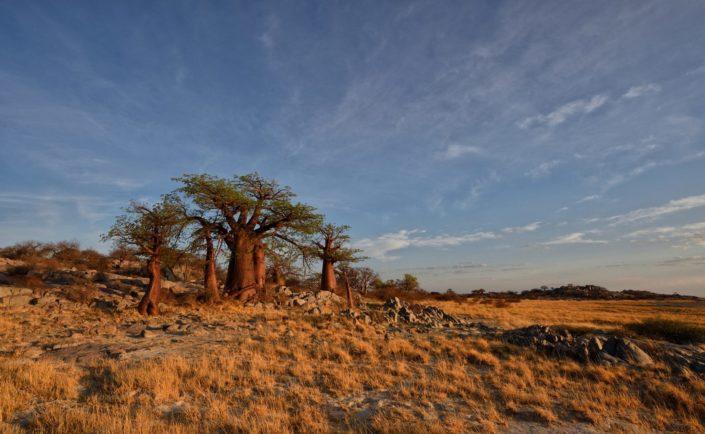 Baobabs auf Kubu Island in den Makgadikgadi Salzpfannen