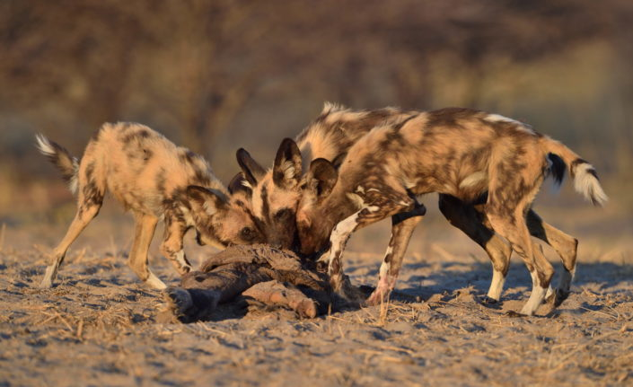 Wild Dogs am Riss