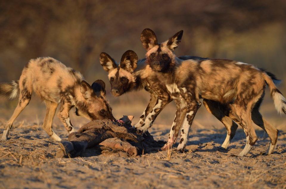 Junge Wildhunde am Fressen