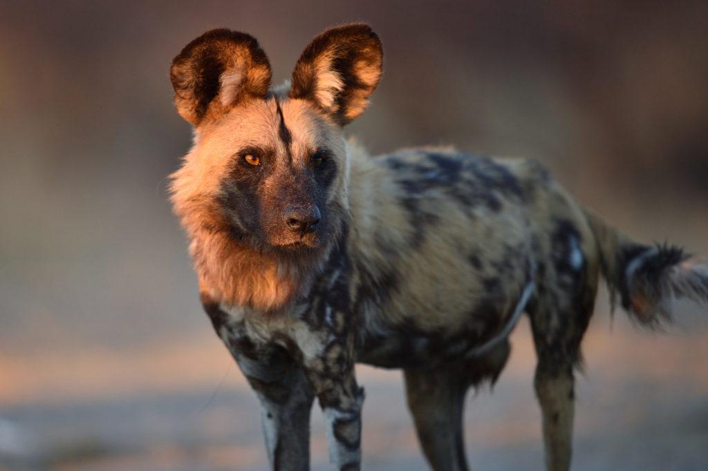 Botswana Wild Dogs
