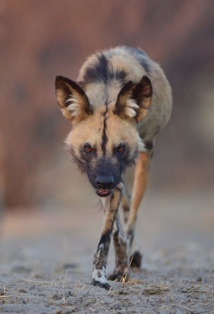 Wild Dog on the Catwalk