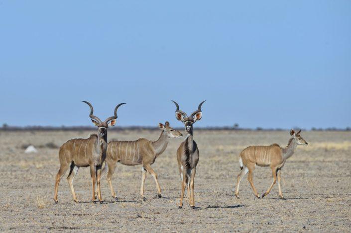 CKGR Piper Pan Wasserloch Kudu