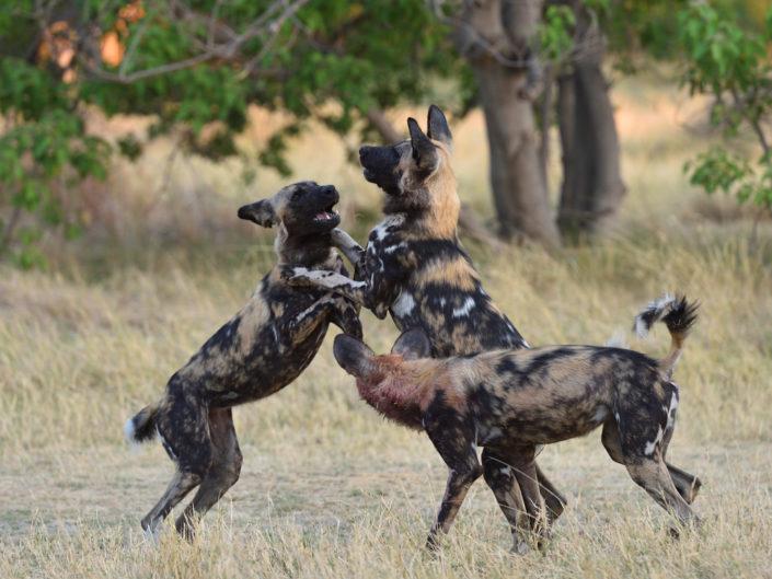 Botswana Wild Dogs 2018