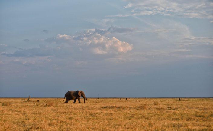 Chobe NP Elefant