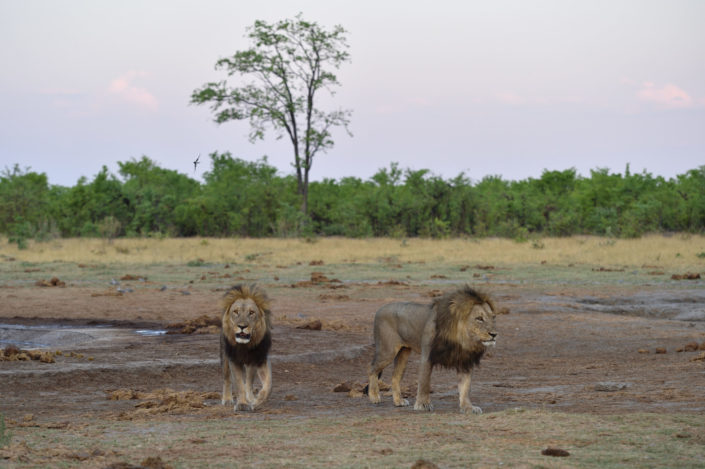 Male Lions - Löwen in Savuti
