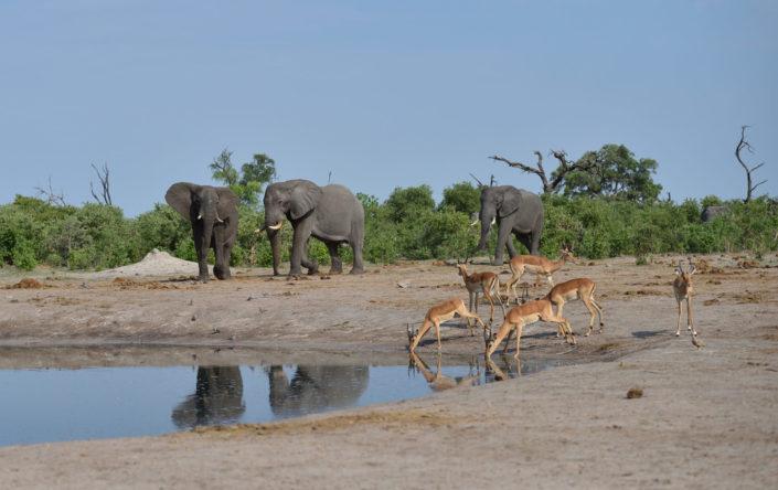 Savuti Wasserloch mit Elefanten und Impalas