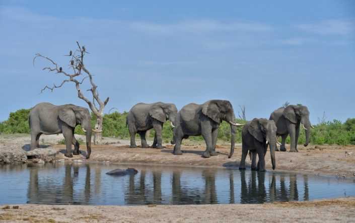 Savuti Wasserloch mit Elefanten