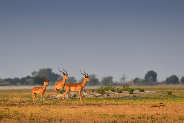 Chobe River Front Impala