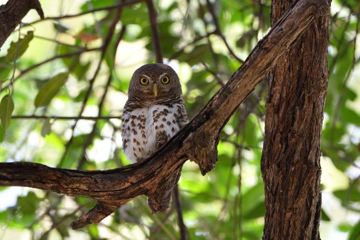 African Barred Owlet - Afrikanischer Streifenkauz