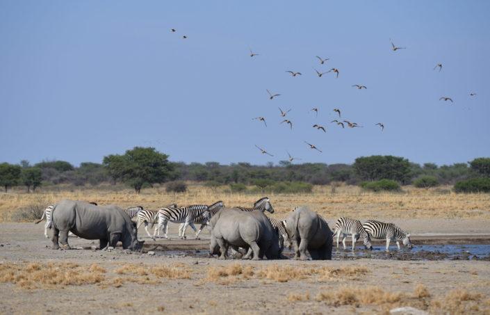 Wasserloch Khama Rhino