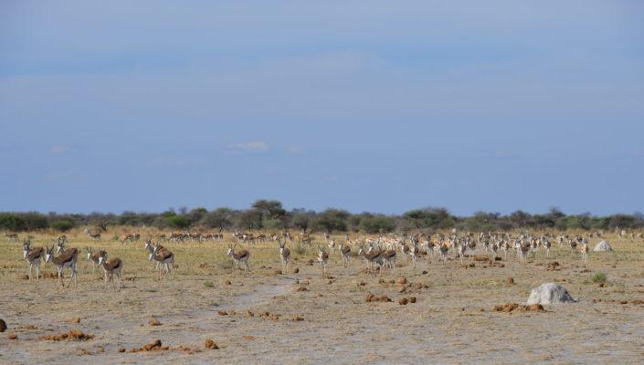Springböcke auf dem Weg zum Nxai Pan Wasserloch
