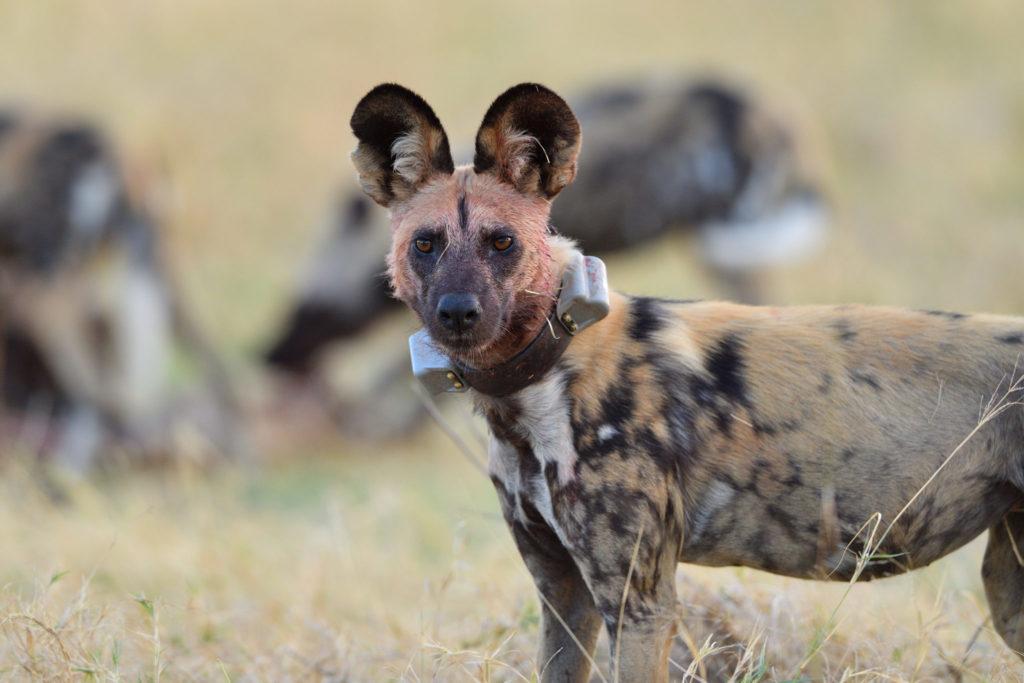 Wild Dog mit GPS Halsband