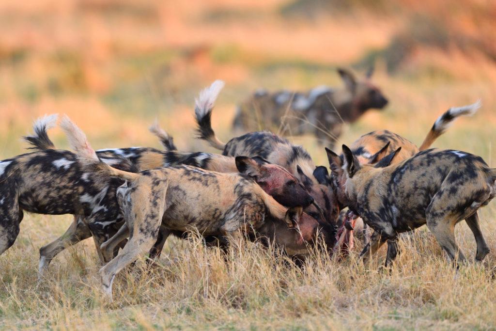 Wildhunde sind die erfolgreichsten Jäger in Afrika