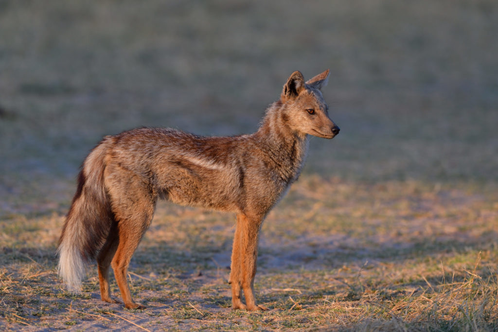 Side Striped Jackal  -  Streifenschakal