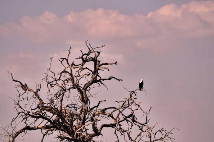 Moremi Okavango Botswana African Fish Eagle