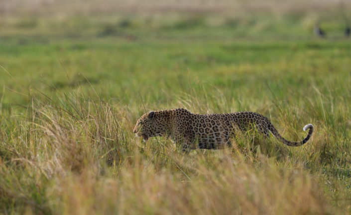 Moremi Okavango Botswana Khwai Leopard