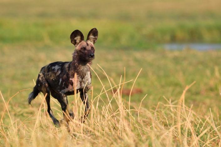 Moremi Okavango Botswana Khwai Wild Dog