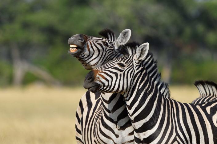 Moremi Okavango Botswana Khwai Zebra