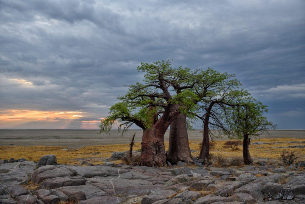 Baobabs mit Wolken