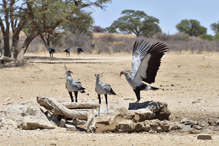 Secretary Birds at Polentswa waterhole