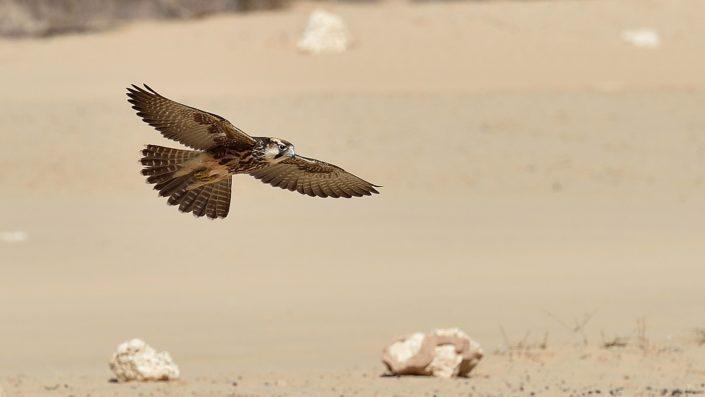 Lanner Falke im Flug am Cubitje Quap