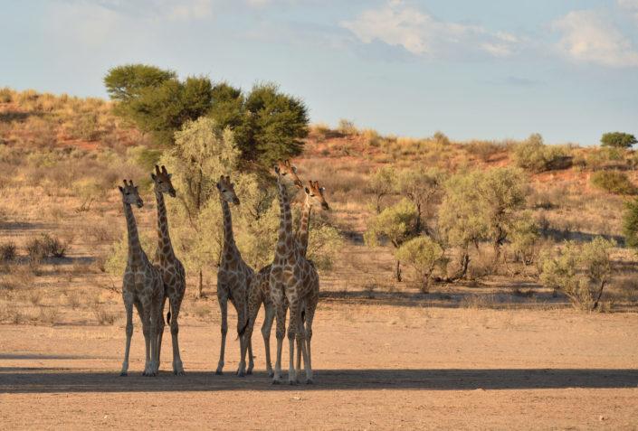 Giraffen im Auob Tal beobachten die Cheetahs