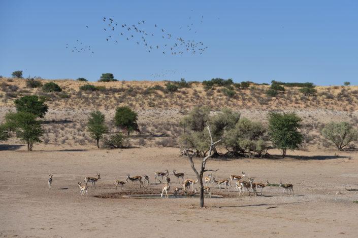 Impalas am Urikaruus Wilderness Camp Wasserloch