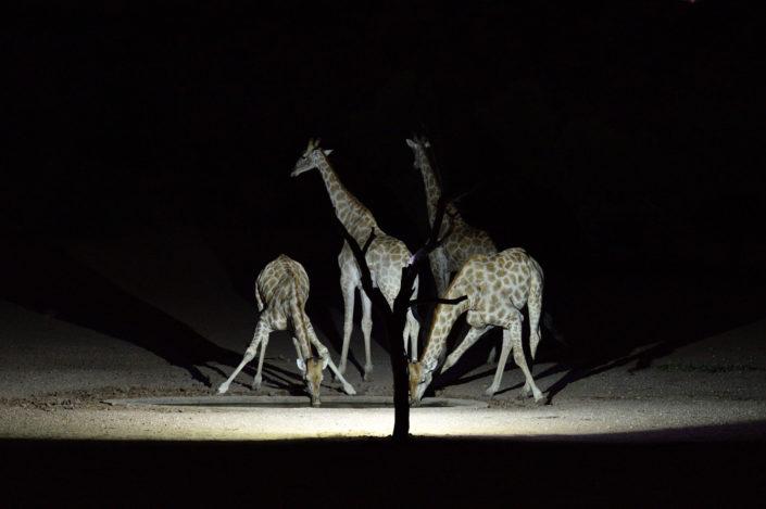 Giraffen während der Nacht am Urikaruus Wilderness Camp Wasserloch