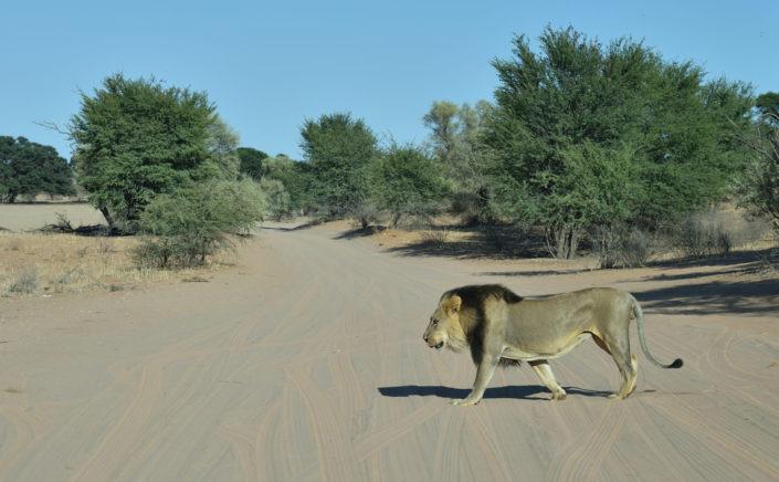 Löwe quert die Strasse am 13. Wasserloch