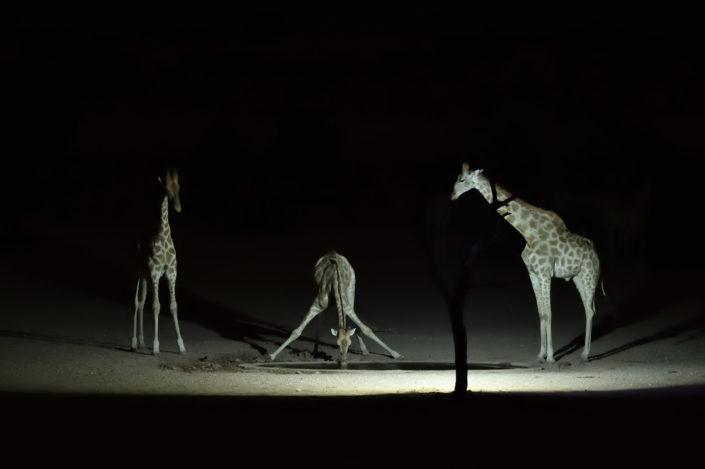 Drei Giraffen während der Nacht am Urikaruus Wasserloch
