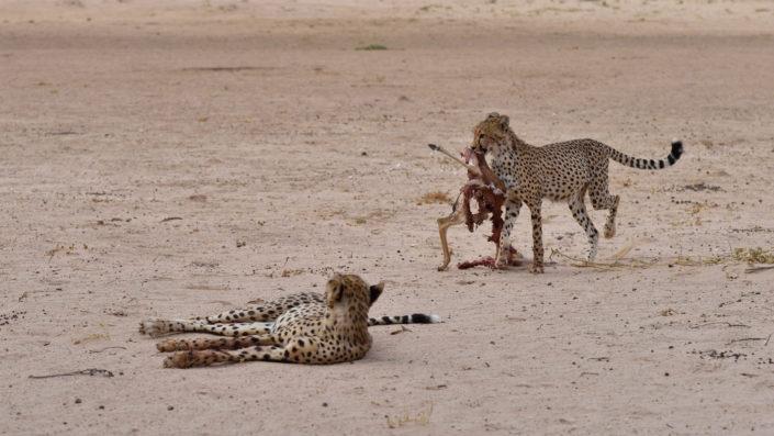Cheetah mit Beute läuft zur Mutter