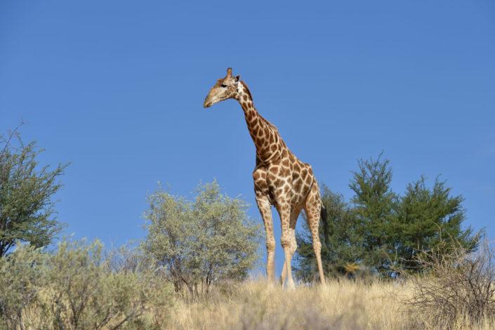 Giraffe auf einer Sanddüne in der Kalahari