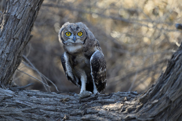Spotted Eagle Owl - Fleckenuhu