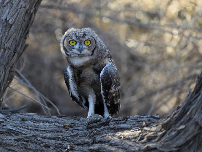 Fleckenuhu Spotted Eagle Owl
