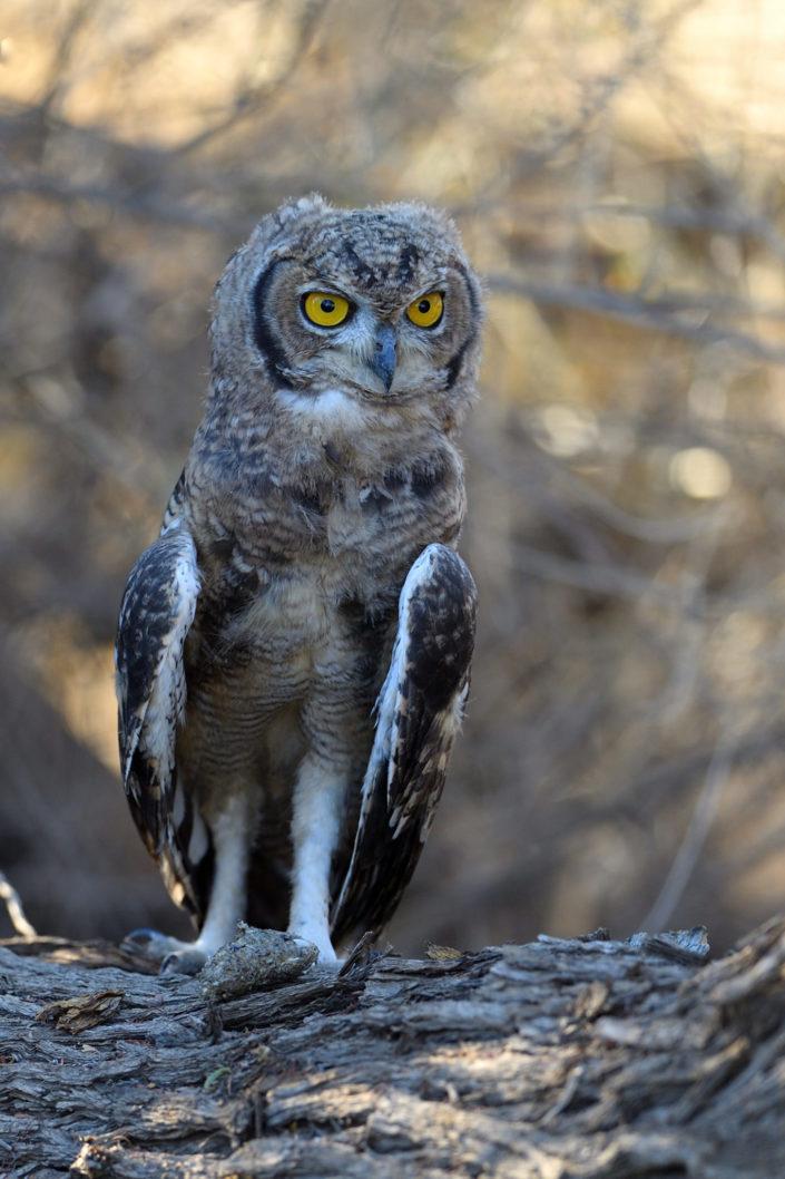 Juvenile Spotted Eagle Owl