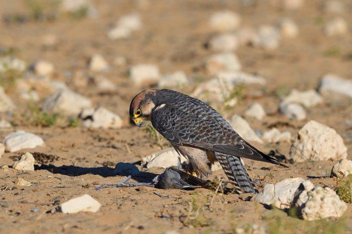 Lanner Falke frisst Taube