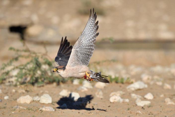 Lannerfalke fliegt mit Beute