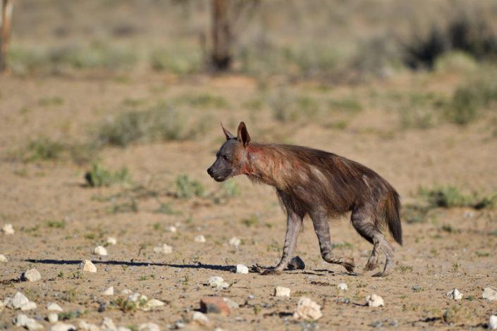 Brown Hyena Kgalagadi Transfrontier Park