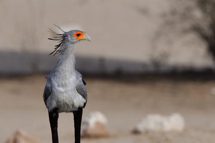 Secretary Bird - Sekretär